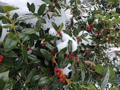 クリスマスホーリーと雪1