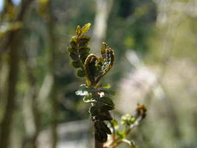 山椒の新芽と花芽