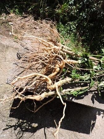 花オクラの根