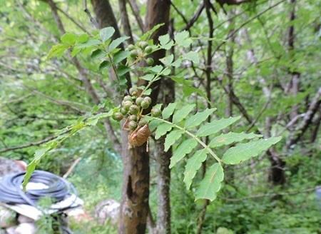 山椒の実とセミの抜け殻