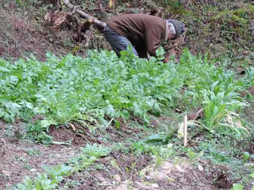 抜き菜を摘む