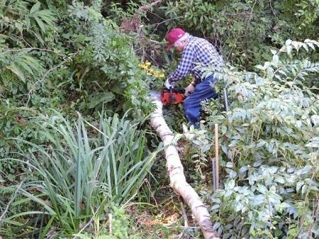 シラカバの伐採1