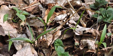 バイモユリの芽1