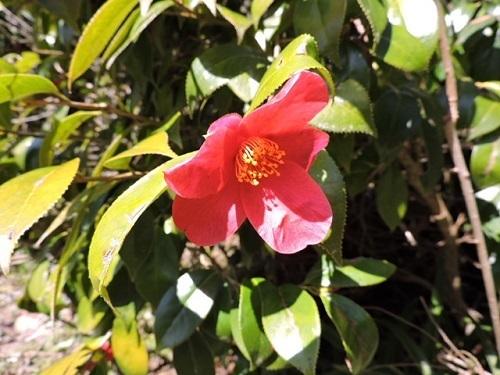 斑入り葉椿1