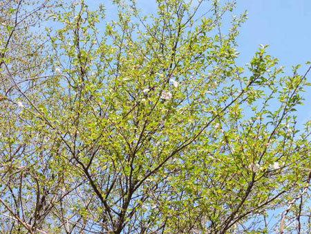 大阪冬桜1