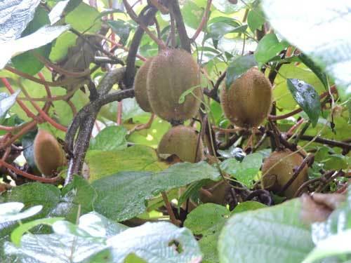 キウィフルーツ1