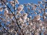 町の住まい周辺の桜1