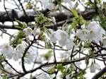 町の住まい周辺の桜2