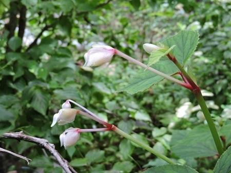シュウカイドウ白花1