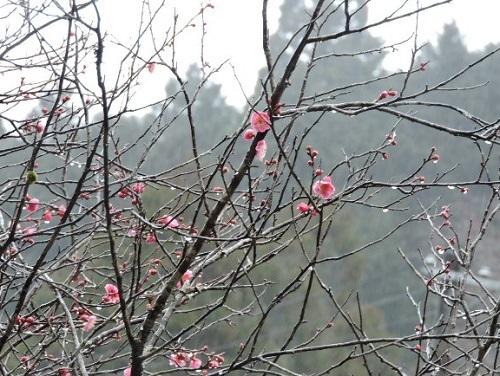早咲きの紅梅3