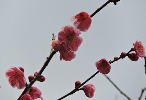 早咲きの紅梅2