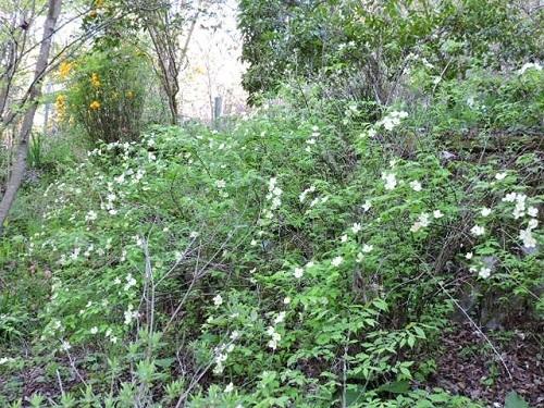 白花ヤマブキ1