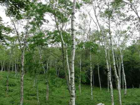 立里の白樺林