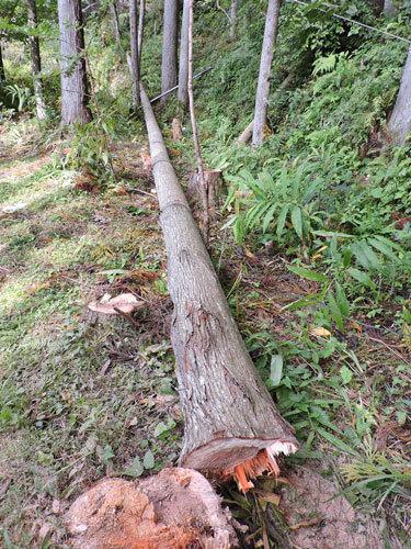 5本目の伐採1