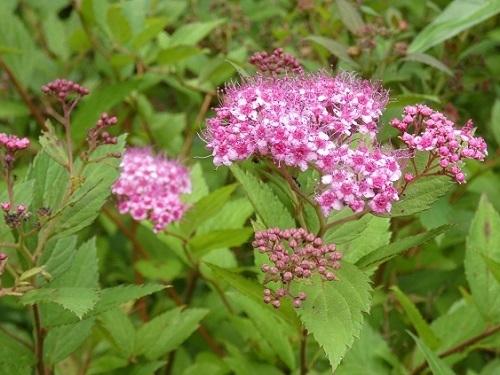 シモツケ赤花2