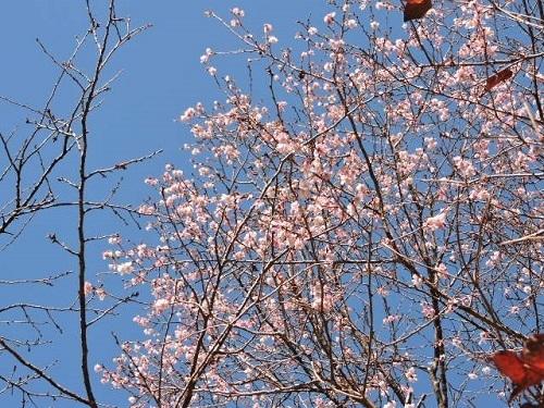 十月桜の今