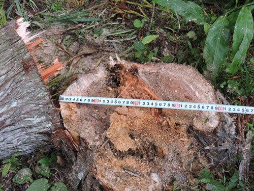 5本目の伐採2