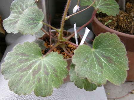 八重咲のユキノシタ