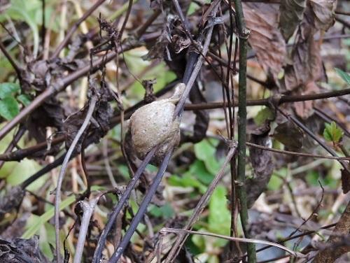 カマキリの卵