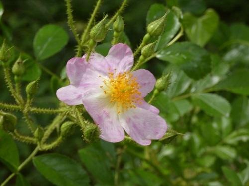 つるバラ2