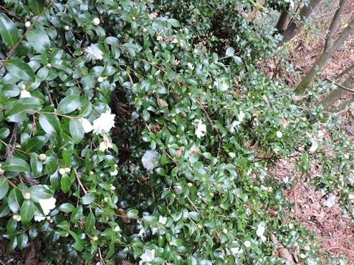 白花サザンカ2
