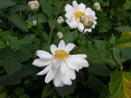 シュウメイギク白花八重