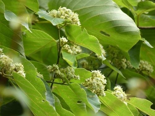 ケンポナシ花3