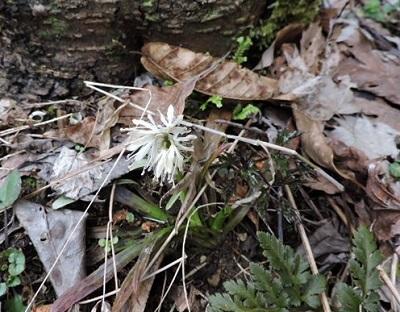 ショウジョウバカマ白花