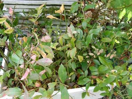 ブルーベリーの挿し木床