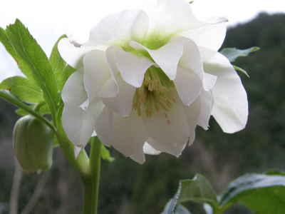 八重咲きのクリスマスローズ