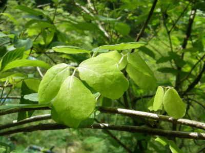 ミツバアケビの葉