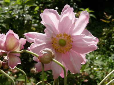 シュウメイギクピンク八重咲き