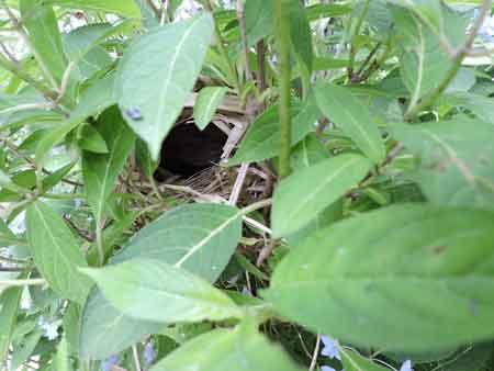 ウグイスの巣