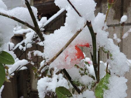 ミニバラに雪