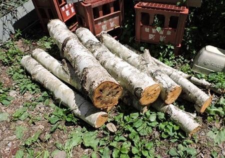シラカバの伐採2