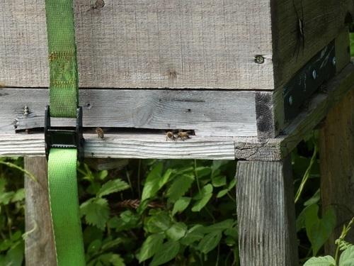 元気な日本ミツバチ