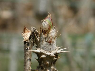 タラの芽がポッチリと