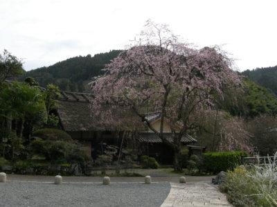 皇居跡枝垂れ桜