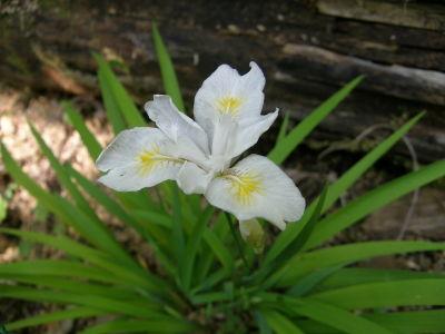 ヒメシャガ白花