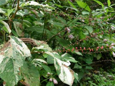 ミズヒキ斑入り葉