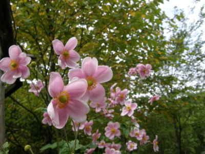シュウメイギク桃花