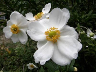 シュウメイギク白花