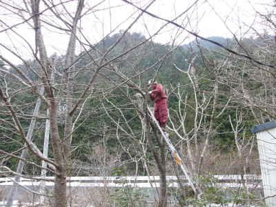 伐採・桜編
