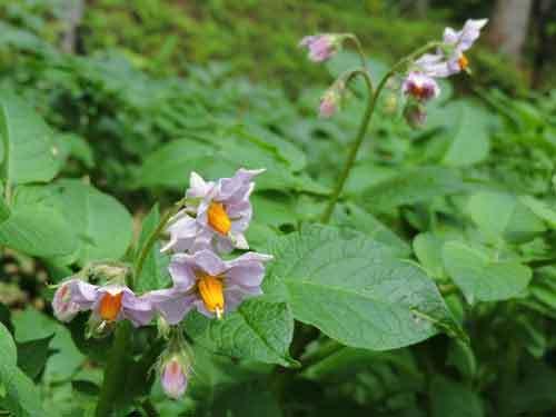 キタアカリの花