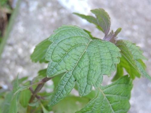 カメバヒキオコシの葉
