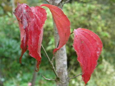 ヤマボウシ(紅花)