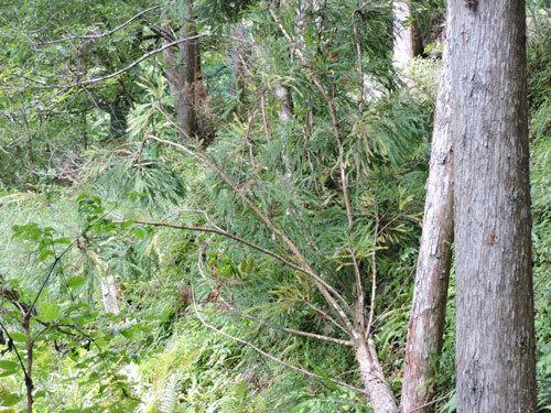 伐採4本目2