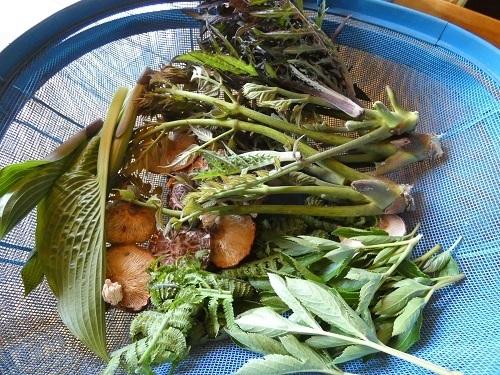 摘んできた山菜や野草1