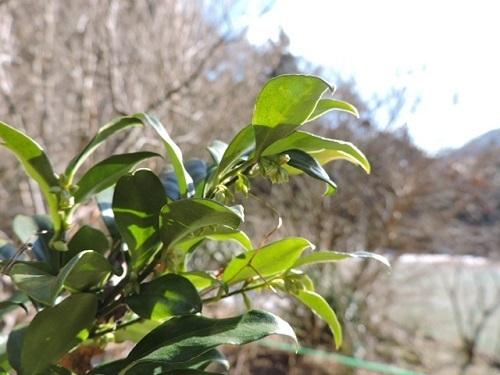 サルココッカの花芽