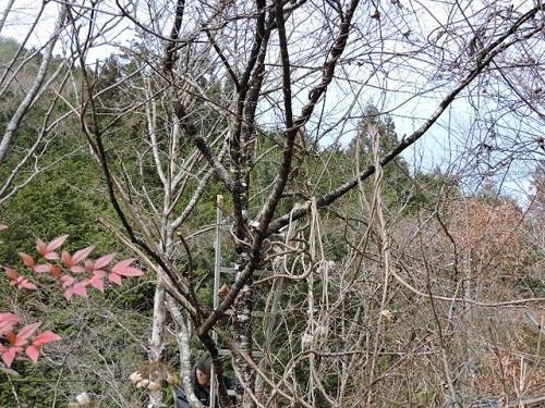 大阪冬桜2